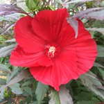 Front garden looking tropical. This is a perennial hibiscus bought last year from @Heemans. #ldnont https://t.co/5CfOrAoGNi