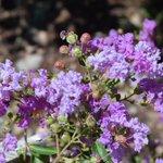 Crepe Myrtles plants and trees in bloom . Open Mon.-Sat. 7-4 #AppleValley #HighDesert #garden #flower #nursery https://t.co/oJskitgLuU