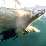 Медведь плавает со своим другом козликом https://t.co/bINZ5hAsFz
