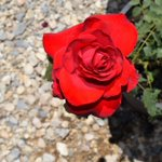 We have a variety of roses, from bushes to climbing. Open 7 am - 4 pm today. #HighDesert #nursery #AppleValley https://t.co/YWWWljcWVd