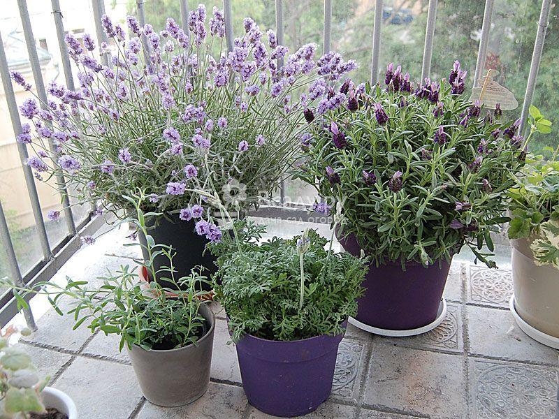 Выращивание в домашних условиях лаванды