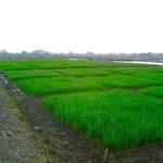 Ensayos para comprobar rendimientos de materiales, en campos experimentales de arroz de #Asoportuguesa https://t.co/9nzEb4i8Mr