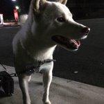 友人の記事より転載、今月29日22時30分頃、静岡県富士宮市外神のセブンの上の信号下で犬を保護しました 特徴 白色の柴犬 オス 青色の首輪 白色と水色ボーダーの服を着用 数日は富士宮警察署の方で保護しているそうです。 #拡散希望 https://t.co/xyl8CbFbZP
