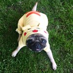 Pokemon, Pokemon everywhere 😂 #pokemongo #pokemon #pug #dog #puppy #love #bubblebeccapugs https://t.co/Nyy1FgMDXN