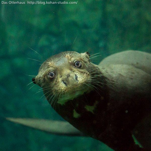 Das Otterhaus 【カワウソ舎】 : 第13回国際カワウソ会議@シンガポール https://t.co/BgNWqPMl5Q https://t.co/L4WgjEdbuB