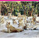 A group of 12 lions, at Chhatar village near Rajula, Amreli in outer #Gir, obstructed farmers way to for few hrs! https://t.co/3HistE2EK1