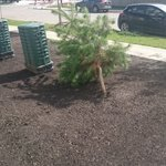 Helluva storm last night. We just had this tree planted yesterday and this is how it looks today #yeg #yegwx https://t.co/lKtRBqFIoh
