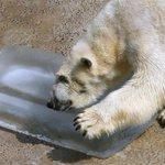 ひんやり、氷のプレゼント 北海道の旭山動物園 https://t.co/j86qRuEoXt https://t.co/77I8wQJW3q