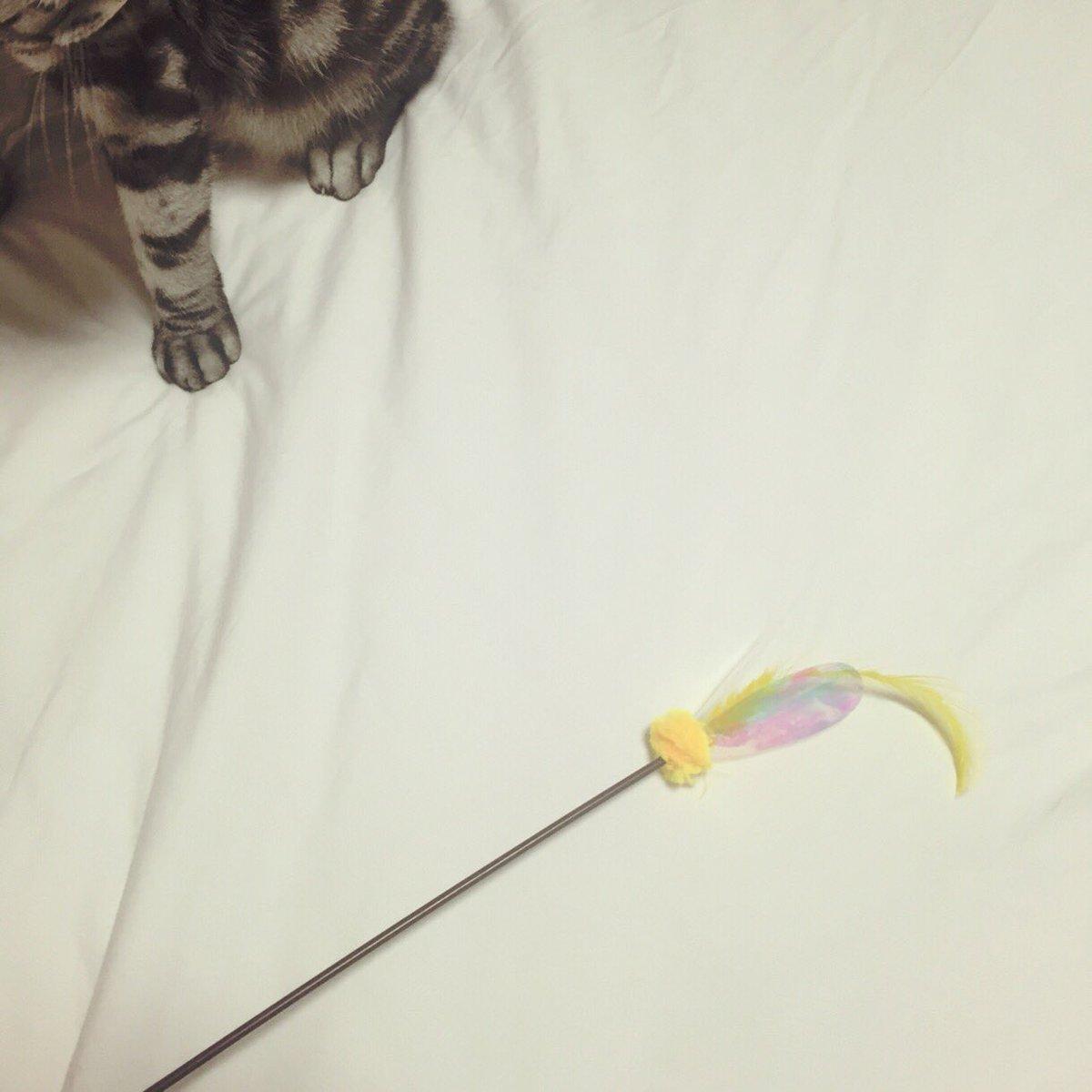 ビス様に一瞬遊んでいただきました。。  #猫 #cat #ビス #BIS様