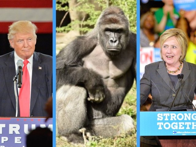 Harambe the gorilla is polling at 5 percent against Clinton and Trump. https://t.co/d75GeeQYFl