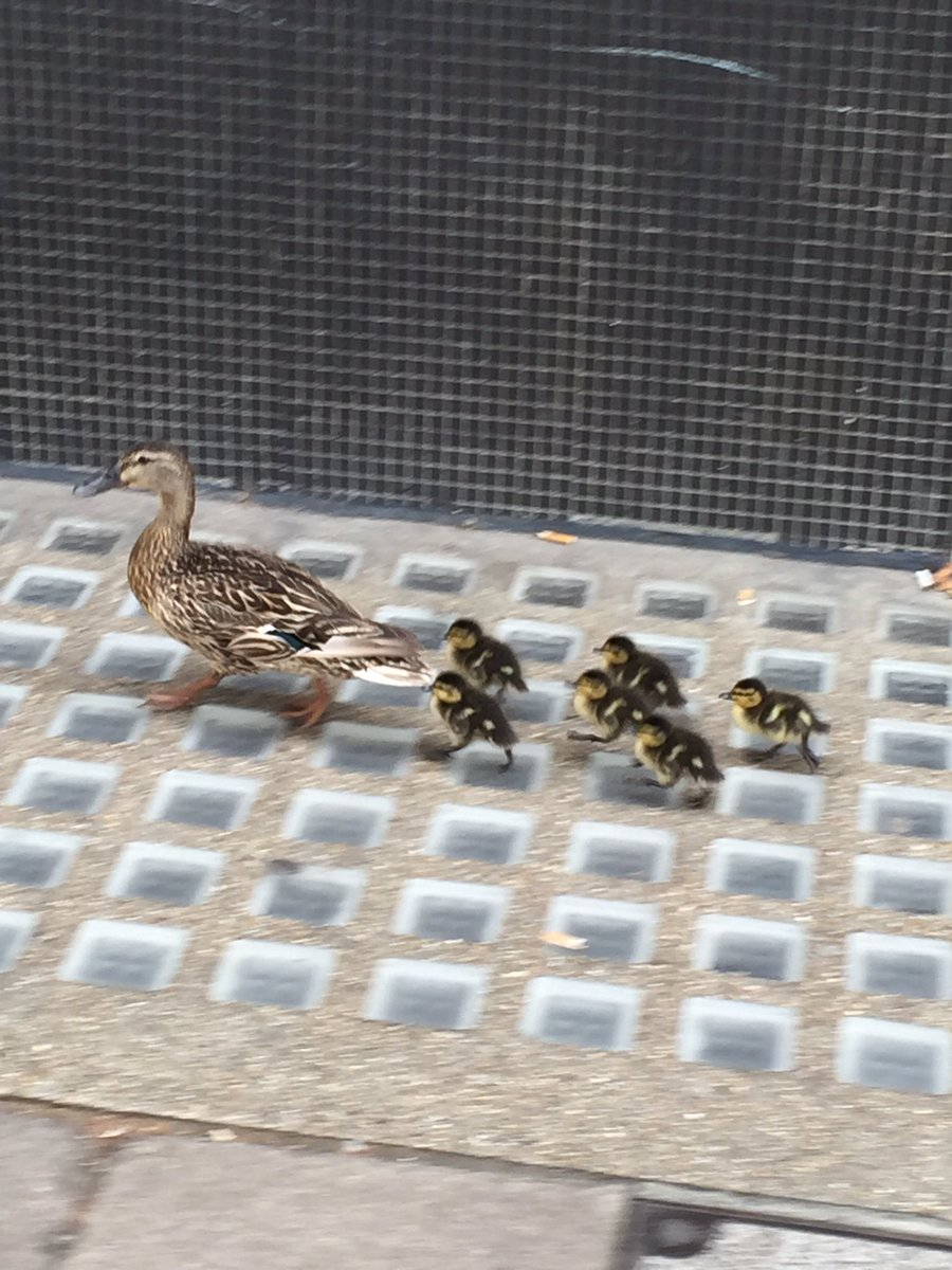 Ducks spotted outside Huxley this morning. @imperialcollege you've got some more prospective students.  ❤ https://t.co/msRCPdYa3b