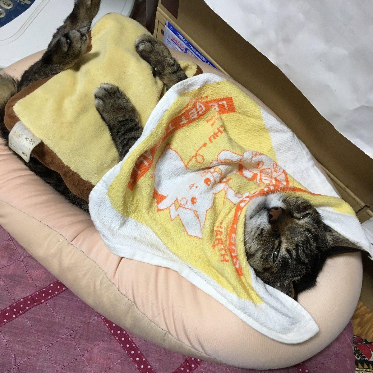 最近、うちで爺猫をダメにするクッションが発見されたらしい。 この格好じゃないと寝ないぞブームらしくと…