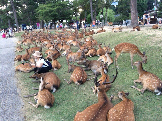 夏恒例の「鹿溜まり」 @奈良博前  ここは地下に冷房が効いているので涼しいんでしょう。大量の鹿たちが寝転んで涼んでいます! https://t.co/3DNOunSI9e