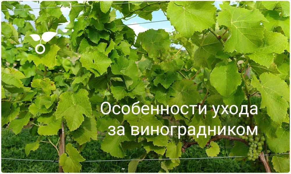 Уход за виноградниками в июне