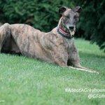 #AdoptAGreyhound