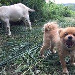 ヤギのヒトシとマサオ、犬の四人で草を刈りました。ヤギに興奮する犬を尻目に、そろそろホモサピエンスの部下が欲しいなぁと強く感じました。 https://t.co/gc4wnRkR5Q