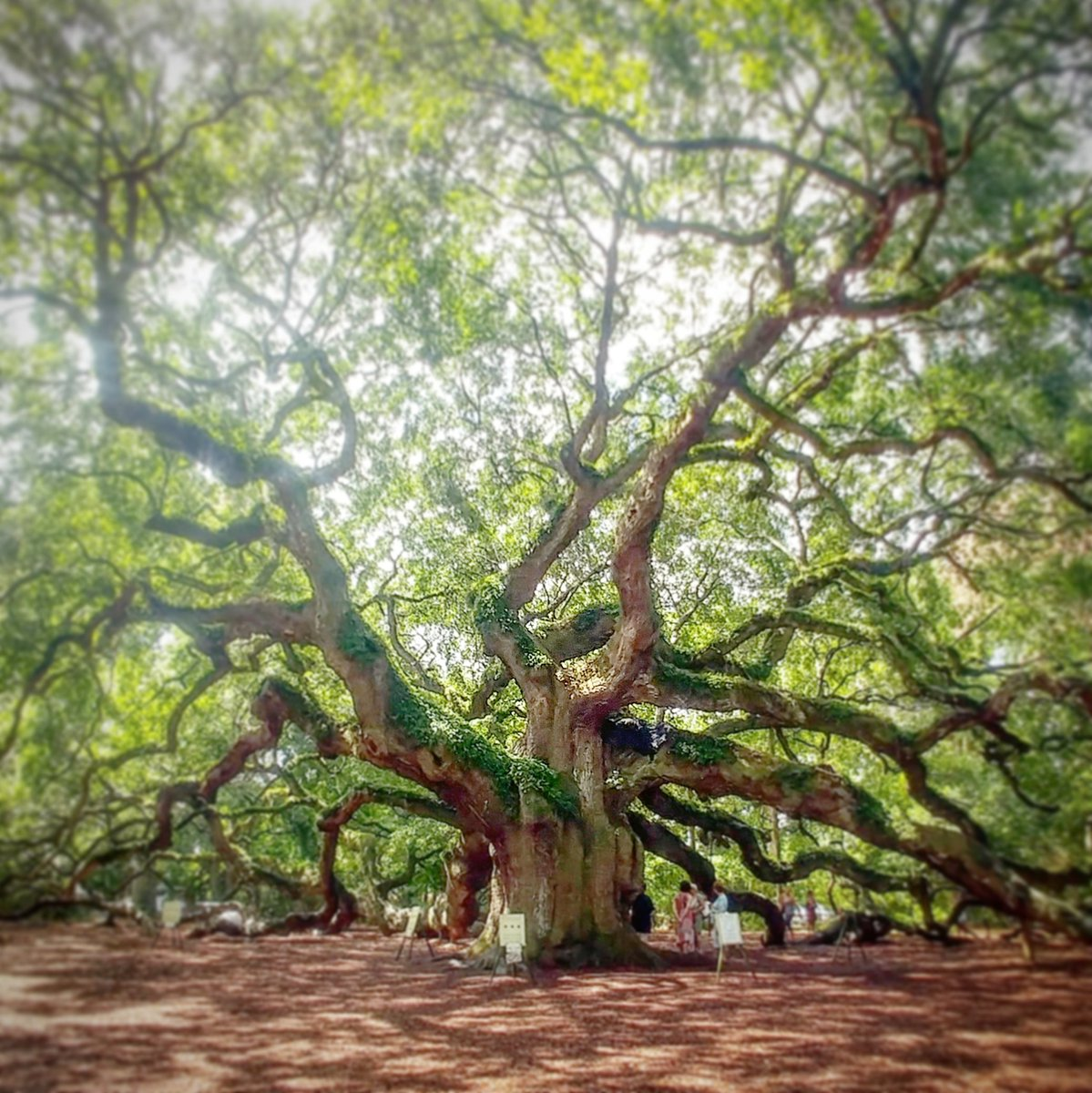 Angel Oak Oldest living organism this side of Mississippi.  Somewhere between 500 and 1500 years old. #tdad #tmom https://t.co/46A9fk0off