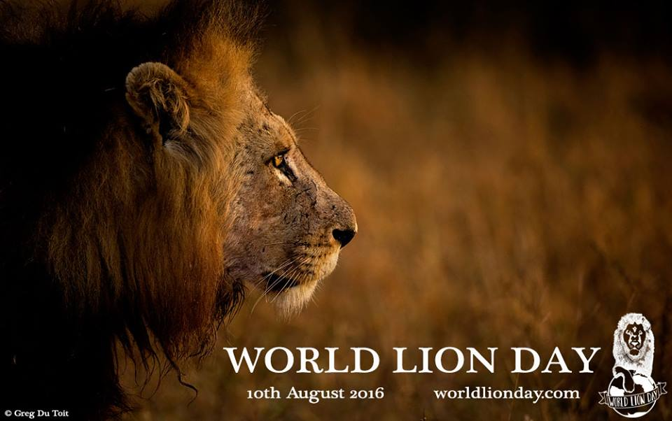HAPPY #WorldLionDay !! A day to raise awareness of the majestic hunter,ultimate feline and the king of the jungle https://t.co/k8KGvrbyJl
