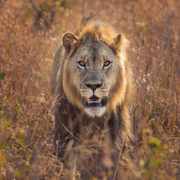It's #WorldLionDay! We're thankful that these handsome creatures can still call South Africa home.