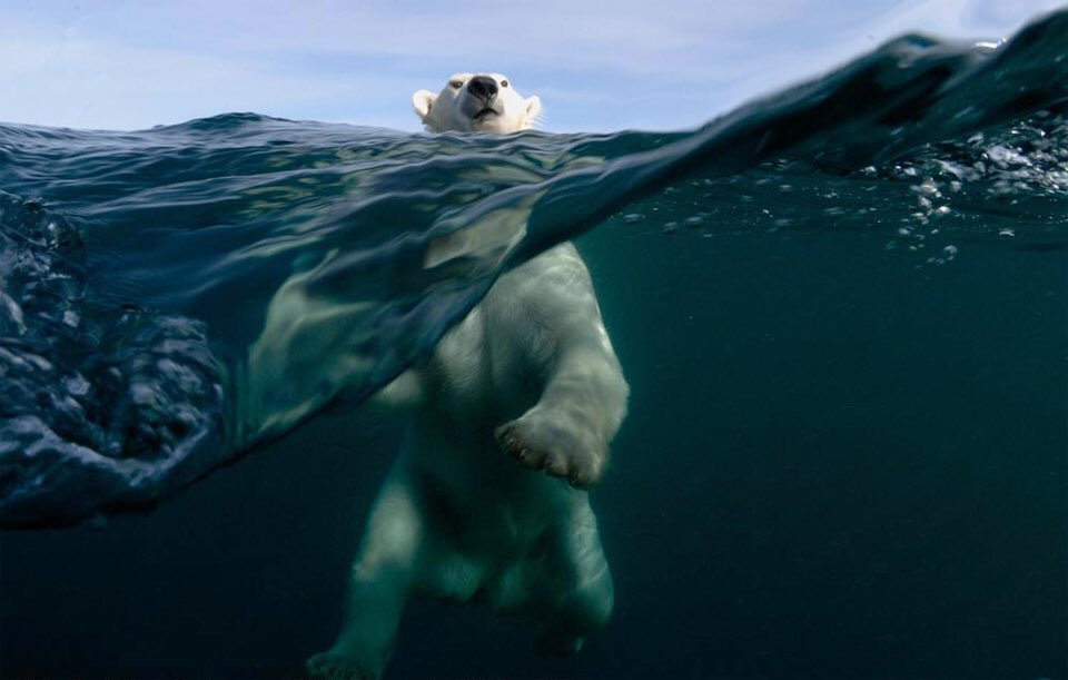 Polar Bear Swimming | Photography by ©Joe Bunni https://t.co/3G3T9rGjvG
