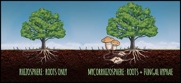 Plants grow better with fungi! A detailed look at how mycorrhizae work by @NotoriousDEBT https://t.co/XlrfHhz1In https://t.co/2mgqsDyNB7