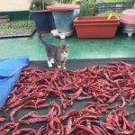 오늘의 착한 고양이 상: 고추를 쪼아먹는 까치 비둘기를 쫃아내서 엄마아빠가 힘들게 농사지은 것을 잘 지킴. 포상으로 참치스틱을 드립니다. https://t.co/EIKMmMox9j