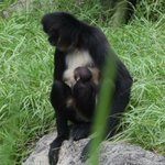 BABY DEBUT! Baby spider monkey was born overnight! Stay tuned for more! #LoveFL #TTOT https://t.co/40uiATCrzK