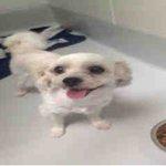 #OUTLOOK #JANE Pls RT2unite #FOUND #DOG-8/25 #Toronto Animal Service A753162 #NORTH 416-338-8723 #Maltesemix M/?Age https://t.co/yQLmx6CV3x