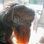 $1,000 reward posted for Gaylord the iguana who went missing in west Edmonton #yeg https://t.co/s20cg2ltuQ https://t.co/gtUmAOA2uX