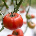 Toronto Police hoping to ketchup with a nude tomato thief https://t.co/7EzA5qaaaF https://t.co/1FBJfr5xiN