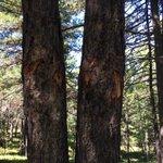 Хаа сайгүй зодуулсан мод. Зодуулалгүй үлдсэн самрын нэг ч мод байхгүй. Ой бүхэлдээ зодуулсан.Хардаг хянадаг хүн үгүй https://t.co/Q85p74h2ca