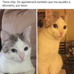 Me ayudáis a encontrarle? Es Han, un gato muy bueno, pero muy asustadizo. Tiene chip. Podéis difundirlo? Gracias. https://t.co/W0nq5jj9Gv