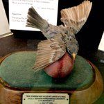 The sparrow that was killed by Jahangir Khan, father of Majid Khan, while bowling at Lords in 1936. #lordsmuseum https://t.co/0t5mhPvPUc