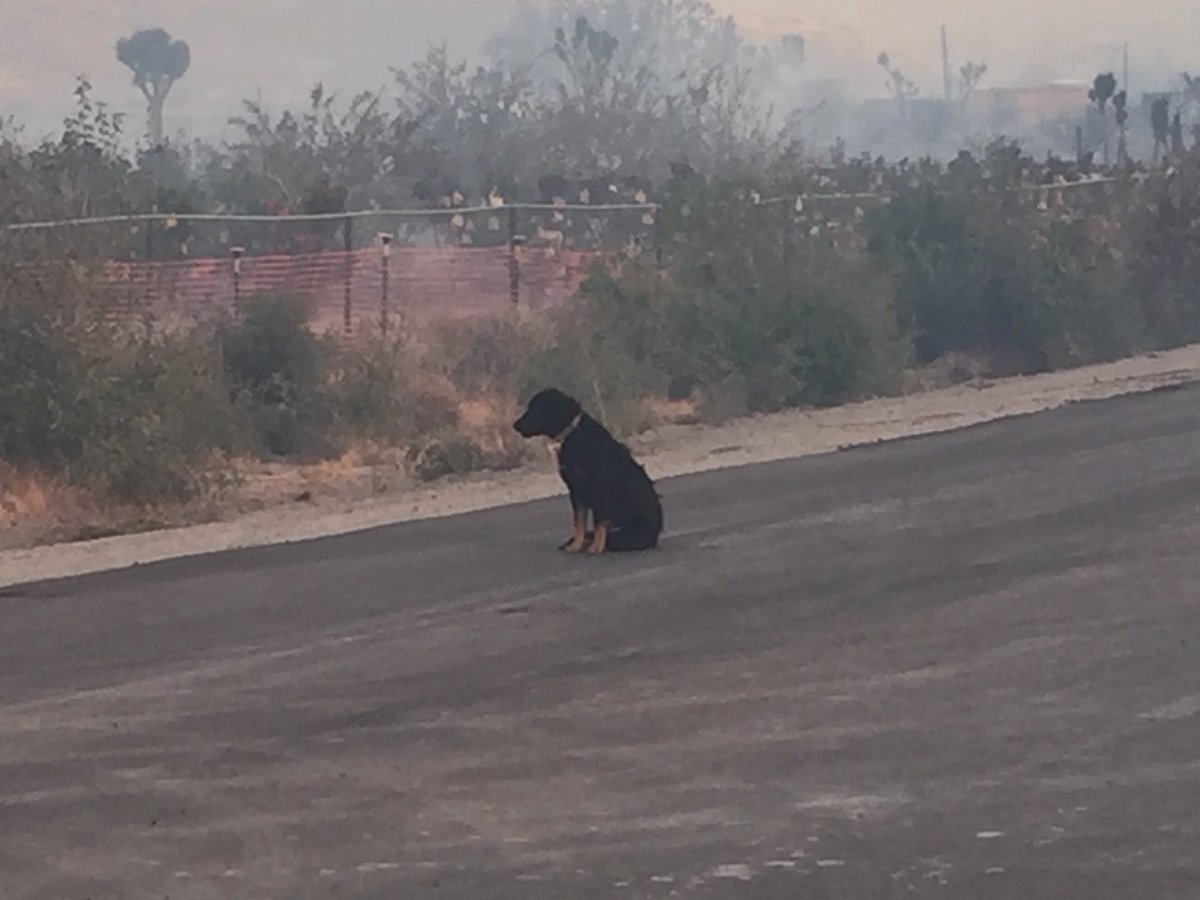 #BlueCutFire: this dog is waiting outside his home that is now burning near Phelan @KTLA #KTLA https://t.co/UoShj0Rcol
