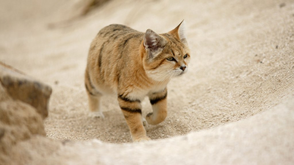 Heartwarming news of the day: the Arabian sand cat has been spotted for the first time in 10 years