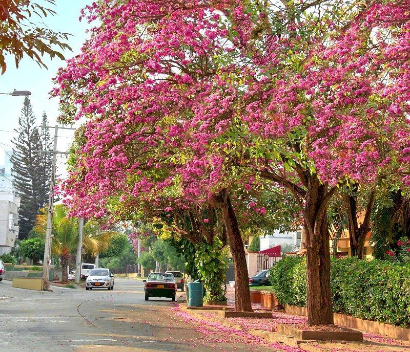 Las calles de Barranquilla, se tiñen por estos días. Hermosos robles morados florecidos.