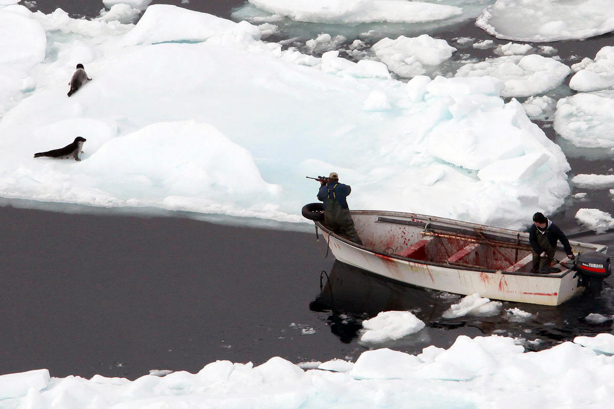 Rated 'S' for slaughter? New film questions Canada seal hunt