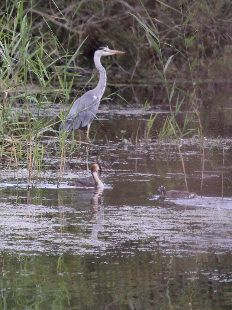 Herons & frogs at @RSPBHamWall love the frogs could watch them all day