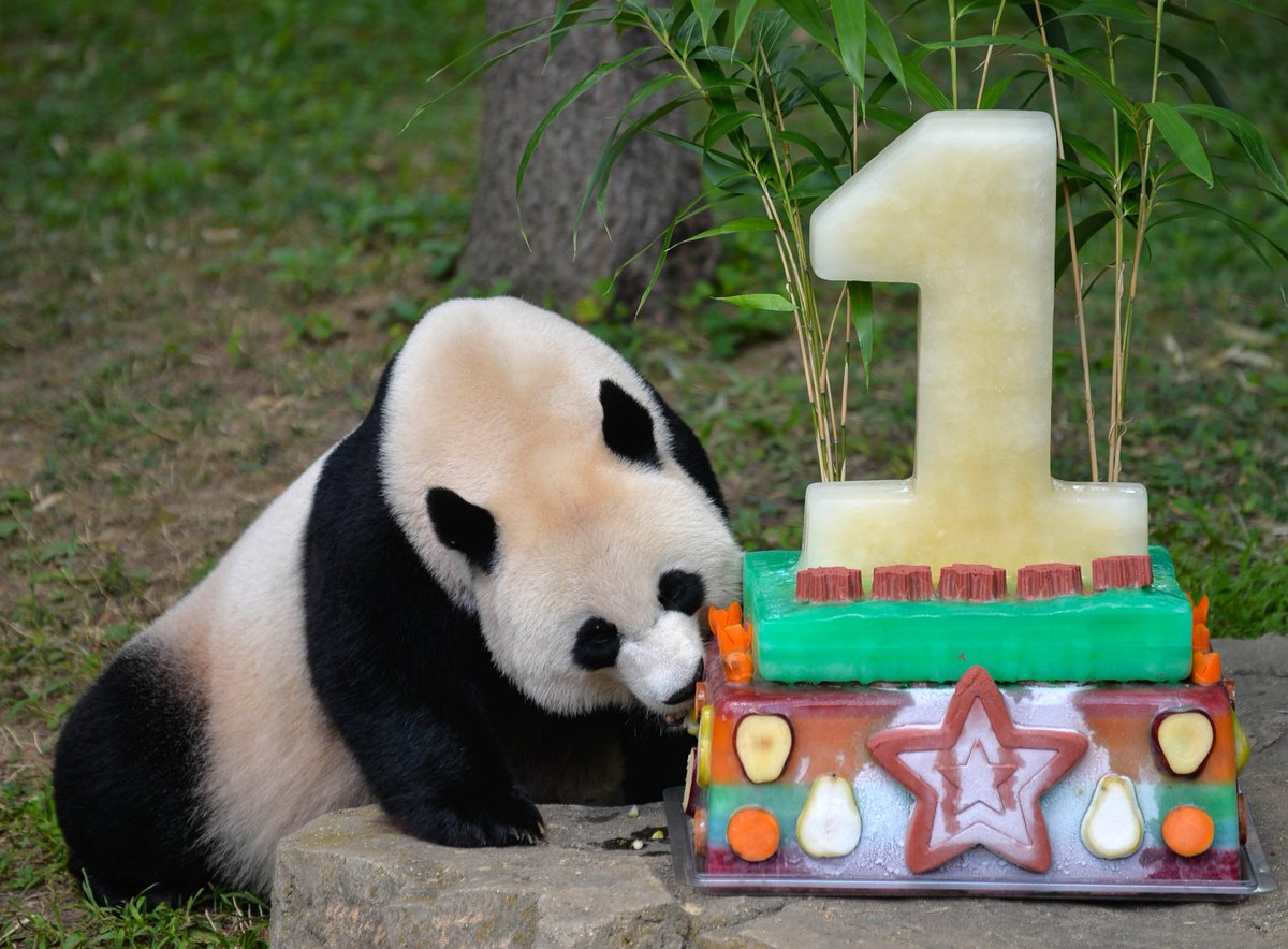 Nationalzoo Bei Bei Panda Wont Come To Enjoy His Birthday Cake