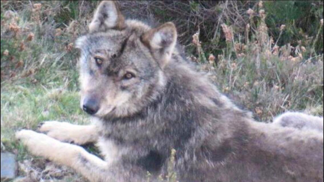 Menos Caperucitas y más Lobos, ¡cambiemos el cuento! Hoy hace cuatro años que mataron a este precioso #LoboMarley https://t.co/NT6NEw0QXw