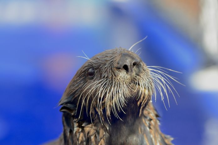 Adorable sea otter alert, Selka joins @MontereyAq She survived a shark bite in the wild. https://t.co/ge8NvKWWQ7
