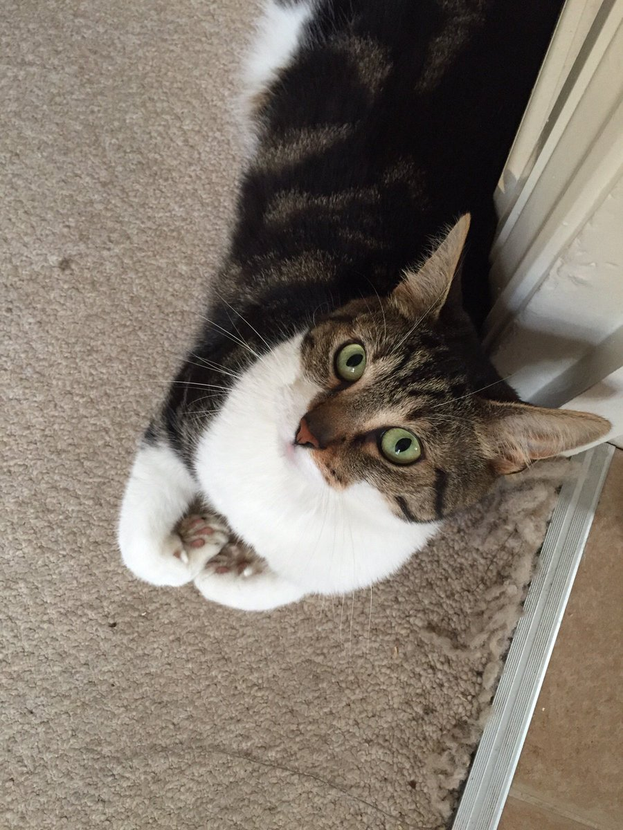 #missingcat in #Tooting 4yr old tabby and white called Obie, please help us find him, Pls RT, reward offered #cats https://t.co/TYQEAX3q3e