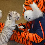 It appears that @AubietheTiger01 found a new friend at @cosamau this morning. #WarEagle https://t.co/dBOvIRO0KE