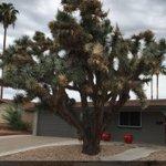 Awesome looking Joshua Tree in this #Phoenix front yard! #lawncare https://t.co/KBEhyFYu7j