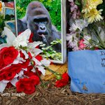 The complicated appeal of the Harambe meme https://t.co/7oXAa03vU4 https://t.co/78ClPvDkcB