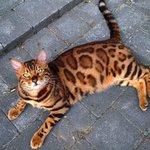 Тор — бенгальский кот с самой красивой шерстью из всех, что вы видели. Часть 1 https://t.co/ieirvnBJG7