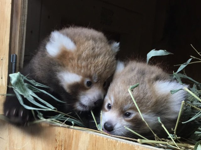 Baby Red Panda Update: The cubs will be 8 weeks old Saturday and are doing well! https://t.co/QT6aSbWCWg