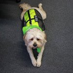 Its @NationalDogDay and we must honour @headspace_aus #Bendigo therapy pooch Hulli - what wonderful work he does! https://t.co/VmBWxIz3HQ