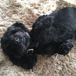 @brianmoore1 heres Lola the cockapoo waiting for her belly rubbed #nationaldogday https://t.co/BVyWrg3RD7