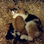 Кошка родила 6 котят прошлой ночью.В то же время,она приняла еще 10-нед котенка,который нуждался в материнской любви https://t.co/Co0tGD2UX1
